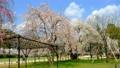 Saio Sakura and Gosho Sakura at Kamigamo Shrine 64077865