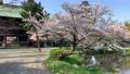 Cherry blossoms at Kanazawa Ward, Kanazawa Ward, Kanagawa Prefecture 64166053