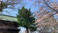 Cherry blossoms at Kanazawa Ward, Kanazawa Ward, Kanagawa Prefecture 64166054