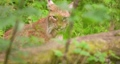 Lynx seen through plants in forest 64236932