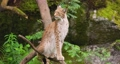 Lynx sitting on tree in forest 64236933