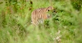 Tiger walking amidst plants in wilderness area 64236935