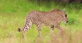 Cheetah walking on field in forest 64236936