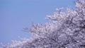 青空と満開の桜並木 64496960