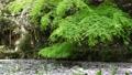 神社の御池に桜の春雨 64559654