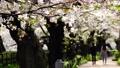 【春の公園】 桜並木 64693495