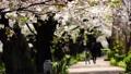 【春の公園】 桜並木 64693497