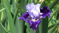 German iris (Iris barbata), close up of the flower head 64884249