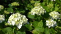 Penny mac (Hydrangea macrophylla), flowers of summer 64884250