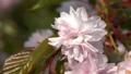 Hill Cherry, Kiku-Shidare-Sakura, Prunus serrulata, blooms of springtime 64884251