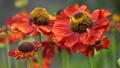 Helens Flower (Helenium), flowers of summertime 64884252