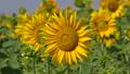 Sunflower (Helianthus annuus), close up of the flower head 64884423