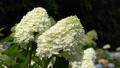 Hydrangea (Hydrangea paniculata), flowers of summer 64884426