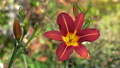 Day lily (Hemerocallis), close up of the flower head 64884427