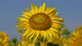 Sunflower (Helianthus annuus), close up of the flower head 64884429