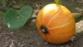 Green food, close up to an Uchiki Kuri pumpkin, ready to harvest 64884450