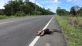 Tamandua Roadkill Wild Animal Killed On The Road In Panama 65003511