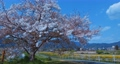 4K 日本 京都 桜 美しい古都 電動ジンバルで撮影,滑らかで浮遊する動き 65031798