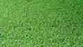 Organic texture of pistia plant 65341153