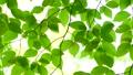 風に揺れる新緑の葉 65346952