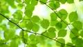 風に揺れる新緑の葉 65347236