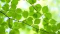 風に揺れる新緑の葉 65347240