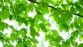 新緑の葉 65347242