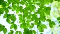 新緑の葉 65347244