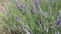 薰衣草和蜜蜂 65372544