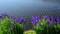 田んぼに咲くアヤメ 65468525