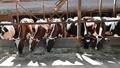 餌を食べている牛舎の牛達 65490557