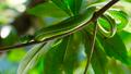 Vogeli green pit viper 65495962