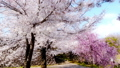 Full-bloomed cherry blossoms, taken with a wide lens using a gimbal 65516016