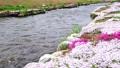 農具川の岸辺に咲く芝桜 65572403