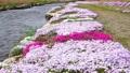 農具川の岸辺に咲く芝桜 65572409