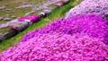 農具川の岸辺に咲く芝桜 65572410