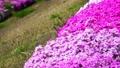 農具川の岸辺に咲く芝桜 65572411