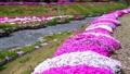 農具川の岸辺に咲く芝桜 65572412