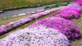 農具川の岸辺に咲く芝桜 65572413