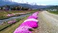 農具川の岸辺に咲く芝桜 65572414