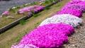 農具川の岸辺に咲く芝桜 65572415