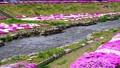 農具川の岸辺に咲く芝桜 65572416