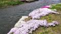 農具川の岸辺に咲く芝桜 65572417