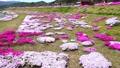 農具川の岸辺に咲く芝桜 65572418