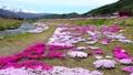 農具川の岸辺に咲く芝桜 65572429