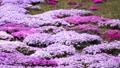 農具川の岸辺に咲く芝桜 65572431