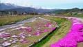 農具川の岸辺に咲く芝桜 65572433