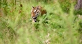 Tiger walking amidst plants in forest 65622833