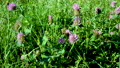Close up view of some beautiful clover blossoms on a green meadow in spring 65705254