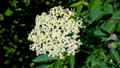 Close-up of a flowering elderflowers umbel on an elder bush in the garden on a warm spring day 65705262